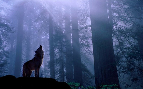 Missa Gaia/Earth Mass - silhouette of a lone wolf in the forest at night
